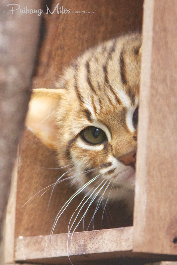 8e35c2c1432f05dba59a11eb1486baa9-spotted-cat-fishing-cat
